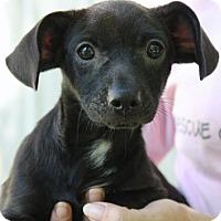 Adopt A Pet :: Fudge - Yardley, PA