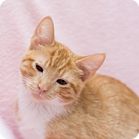Domestic Shorthair Kitten for adoption in Fountain Hills, Arizona - Stormy II