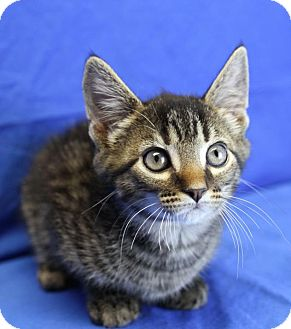Domestic Shorthair Kitten for adoption in Winston-Salem, North Carolina - Peyton