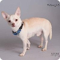 Adopt A Pet :: Mambo - Mesa, AZ