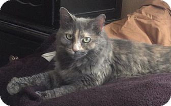 Domestic Mediumhair Cat for adoption in Trenton, New Jersey - Pie (LT)