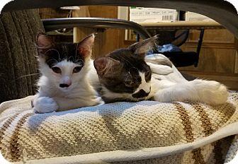 Domestic Mediumhair Kitten for adoption in Dallas, Texas - Trudy