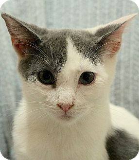 Domestic Shorthair Kitten for adoption in cupertino, California - Kaleesi --- $50.00