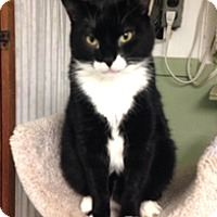 Domestic Shorthair Cat for adoption in Milton, Massachusetts - Harpo
