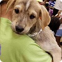 Adopt A Pet :: Tess's Terminator - Las Vegas, NV