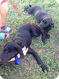 Labrador Retriever Mix Puppy for adoption in Gainesville, Virginia - Samantha