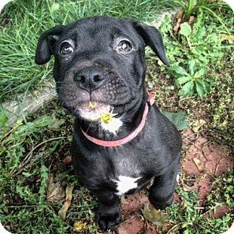 Pit Bull Terrier Mix Dog for adoption in Rochester, New York - Spencer