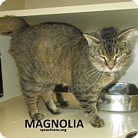 Domestic Shorthair Cat for adoption in Elizabeth City, North Carolina - Magnolia