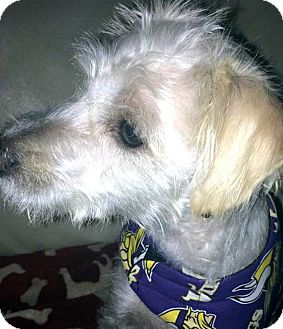 Poodle (Toy or Tea Cup) Mix Dog for adoption in Tijeras, New Mexico - Peggy Sue