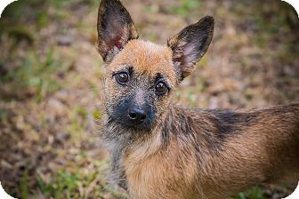 Border Collie/Terrier (Unknown Type, Medium) Mix Dog for adoption in Houston, Texas - Lil'Bit