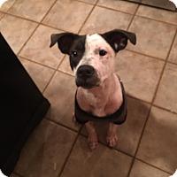 Adopt A Pet :: Frito - East Randolph, VT