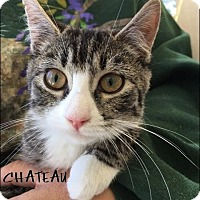 Domestic Shorthair Kitten for adoption in Great Neck, New York - Choteau