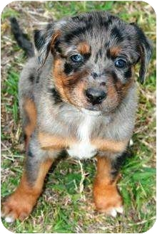 Catahoula Mix Shepherd Dog Breed http://www.adoptapet.com/pet/5271049-richmond-virginia-australian-shepherd-mix