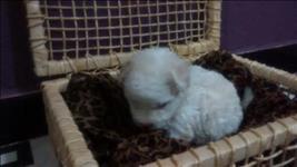 Poodle micro toy filhotes femeas lindas pronta entrega