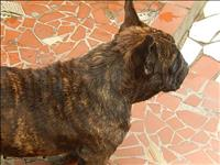 Bulldog frances femea com 12 meses tigrada  acasalada