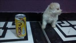 Poodle micro toy filhotes femeas brancas e chamapnhes