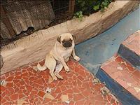 Pug com 09 meses femea com pedigree
