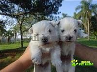 West Highland White Terrier Filhotinhos Lindos