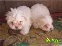 Filhotes Lindos De Lhasa Apso