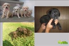 Labrador Retriever Filhotes Amarelo, Preto Ou Chocolate