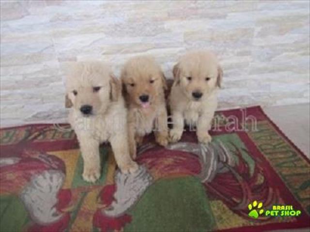 Golden Retriever Filhotes Maravilhosos
