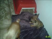 Filhote de pinscher 0 com chihuahua