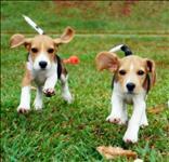 Filhotes de beagle.