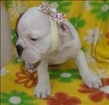 Bulldog inglês, filhotes fêmeas