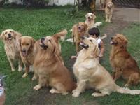 filhotes de golden retriever com pedigree e ampla garantia