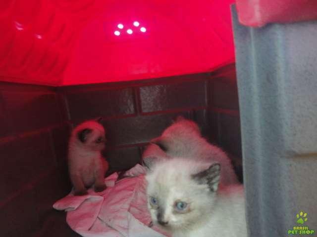 Vendo lindos gatinhos siames