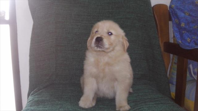 Golden retriever pronta entrega