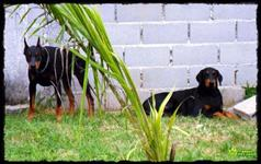 Filhotes de doberman com pedigree