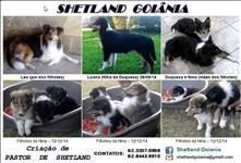Filhotes de pastor de shetland