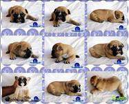 Lindos filhotes de bulldog francês