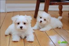 Filhotes de cachorro maltês masculino e feminino para venda.