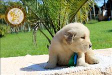 Golden retriever - filhote macho filho de campeão