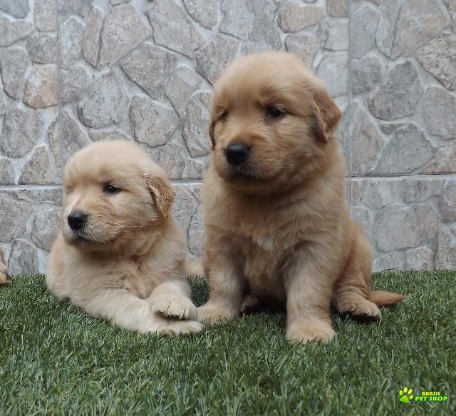 Filhotes De Golden Retriever