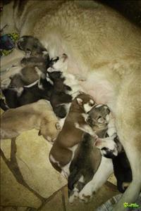 Filhotes de huskies siberianos