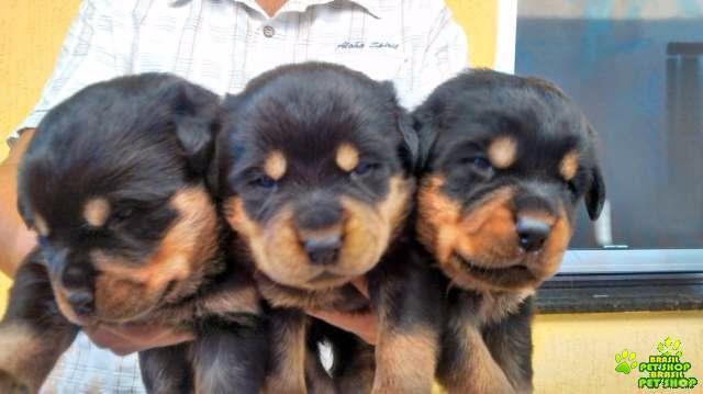 Vendo Filhotes De Rottweiler Nascidos 28-10-15