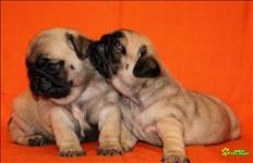 Saudáveis Filhotes De Pug Vacinados À Procura De Uma Nova Casa