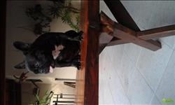 Fêmea De Buldog Francês, Com Pedigree Disponível! Watsapp (34)99148-2011