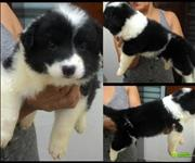 Filhotes de border collie com pedigree cbkc 3 ultimos