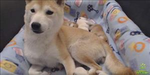 Shiba inu filhotes inteligentes e cativantes