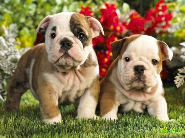 Old english bulldog lindissimos filhotes