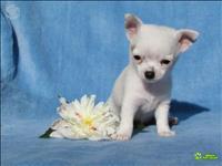 Chihuahua liindos filhotes