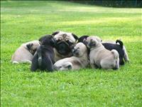 Adorável quatro ninhadas de filhotes pug