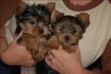 Os filhotes de cachorro yorkshire para adoção
