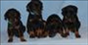 Os filhotes de cachorro doberman para adoção