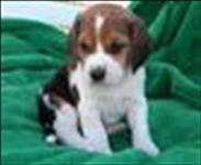 Beagle filhotes para adoção