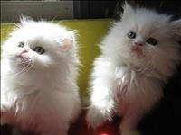 Gatinhos persa macho e fêmea